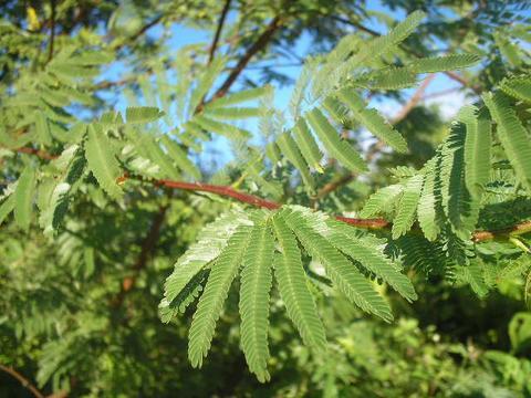 Mimosa Hostilis tenuiflora