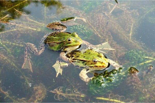 dos ranas apareandose en un estanque